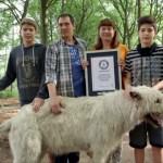 ギネス世界記録に登録! → 世界一長いシッポを持つアイリッシュ・ウルフハウンド犬