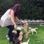 11匹のラブラドールの子犬 → 一斉にご飯を食べ始めたら面白いことに…(笑)