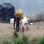どうしてこうなった!? → 1つの壷に同時に頭を突っ込み、抜けなくなった2匹のヤギの救出劇