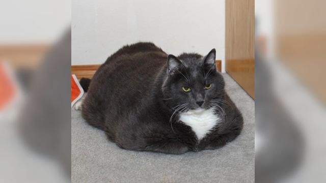 体重16kgのデブ猫 → 1年間のダイエット生活で別猫に変身