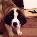 初めての階段にオドオド → 緊張感が半端ないセントバーナードの子犬
