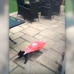 赤いビニール袋を首にかけてスーパーカーのように疾走する猫(笑)