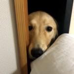 部屋に入りたいけワンちゃん → 飼い主を見つめる表情が切なすぎ