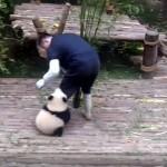 遊んでくれるまで離さない! → 作業中の飼育員の足にまとわりつく赤ちゃんパンダ