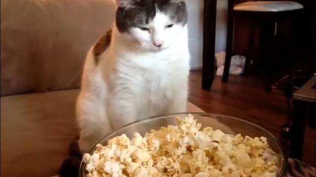 違うそうじゃない(笑)!? → 出来たてのポップコーンをじっと見つめる猫 → 予想外の行動に…