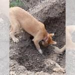 交通事故で亡くなった兄弟犬を埋葬する犬、その哀しい姿に胸を打たれる