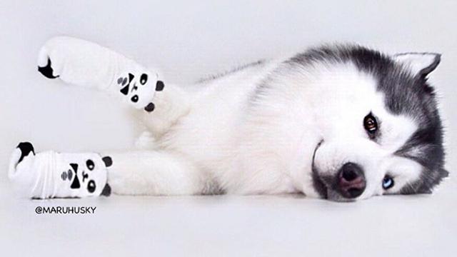 はじける笑顔で癒やしを振りまくハスキー犬 10枚