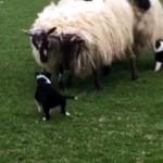 牧羊犬としてデビュー初日、小さな体で一生懸命ヒツジを追い立てる子犬