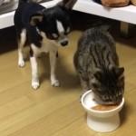 食事中の猫に「ちょっとだけ頂戴」とおねだりするワンコ