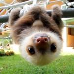 ナマケモノの赤ちゃんの鳴き声…予想を上回る可愛さだった!