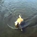 犬掻きをすることができず、独自の泳ぎ方を身に付けたラブラドールレトリバー