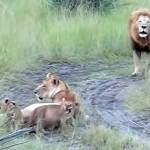 雄叫びをあげるお父さんライオンの真似をする子ライオン…可愛すぎ(笑)