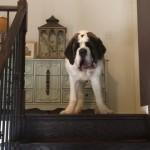 階段を怖がる、体は大きくても気の小さなセントバーナード犬