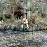 わずか数センチ程度の川の浅瀬を渡れない、怖がりなボクサー犬(笑)