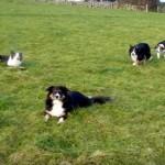 5匹の牧羊犬が繰り広げる謎の遊び「ザ・コーリー・ウォーク」が謎だらけで理解できない!