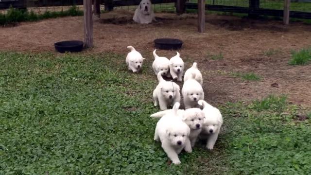 全員集合!飼い主の掛け声で一斉に駆け寄ってくる9匹の可愛い子犬たち♡