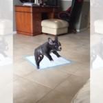 ソファーに飛び乗ろうとする子犬 → ジャンプのタイミングがズレてるんだけど…