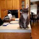 毎朝、飼い主と目が合うと「朝の挨拶」を欠かさない礼儀正しい猫