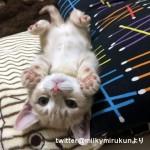 謎の遊びに熱中!? → 奇妙な動きがおもしろ可愛いマンチカンの子猫