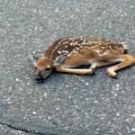 道路にうずくまる小鹿を助けた男性 → まさかの展開に唖然!(笑)