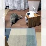 フェレットに付き纏われビビりまくる猫 → 踏み台を盾に必死に逃げ惑う(笑)