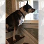 郵便配達員を好きになれず、窓越しに姿を見ては唸り声をあげるワンコ(笑)