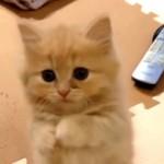 瞬殺レベルの可愛い仕草で何かおねだりしているマンチカンの子猫♡