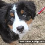 茶目っ気たっぷりで天真爛漫なバーニーズ・マウンテンの子犬の可愛い写真集 10枚