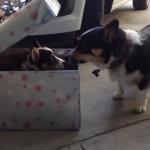 新しく家族になった弟と初顔合わせ → そわそわ落ち着きのない先住犬のコーギー(笑)