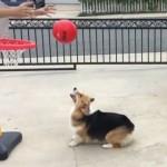 バスケットのゴールに見事なシュートを決めるコーギー犬