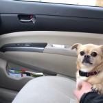 車を運転させないように、パパさんの注意を引きつけるワンちゃん。