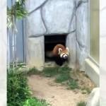 出入口から飛び出してくるなり、突然、戦闘モードに入ったレッサーパンダ(笑)