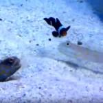 なんてこった!? → 巣穴を掘る魚の邪魔をする意地の悪いオトメハゼ