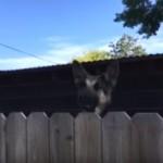 フェンス越しにジャンプしながらコチラを覗くお隣のワンコ → 覗き穴をこしらえてあげると…(笑)