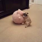 大きなブタのぬいぐるみと戯れる小さなパグ犬、大はしゃぎし過ぎた結果…