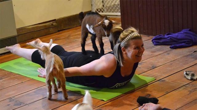 背中に乗ってくるヤギの赤ちゃん。ヤギと一緒に楽しめるヨガ教室がおもしろい! 12枚