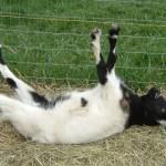 ビックリすると筋肉が硬直して引っくり返ってしまうヤギがおもしろい(笑)