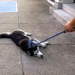 散歩から帰りたくないと、駄々をこねて飼い主を困らせるワンコ(笑)