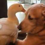最初は険悪な関係だった犬とアヒル…今ではすっかり仲良しに♪