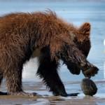 砂浜で食べ物を探していて二枚貝に爪を挟まれてしまった子グマ