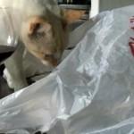 ビニール袋の罠にはまった猫。テーブルから落ちてパニック状態に