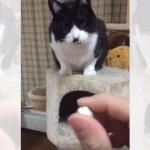 「笑わないで」というタイトルの付いた笑ってしまう猫の映像集