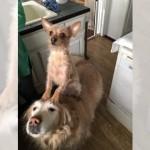 何をするにも、大きな兄犬の背中に乗って行動する小さな妹犬♡
