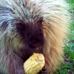 大好物のトウモロコシを食べながら、可愛い声でお喋りをするヤマアラシ