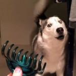 髪留めのクリップを摘んでカチカチする音に怯むハスキー犬