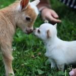 子ヤギとの初めての顔合わせで緊張気味の子犬