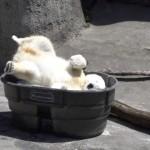 氷風呂を用意してもらって超ご機嫌なホッキョクグマ♪