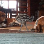 エミューの赤ちゃんにちょっかいを掛けられても、まったく動じないバセットハウンド犬