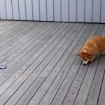 パックマンゲームさながらのスタイルで朝食をとるコーギー犬(笑)