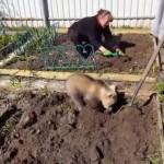 家庭菜園で土を耕すお手伝いをするクマの赤ちゃん